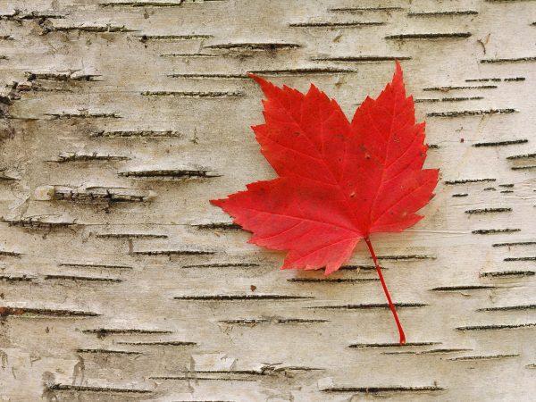 Những điều mà không phải ai cũng biết về lá phong đỏ Canada