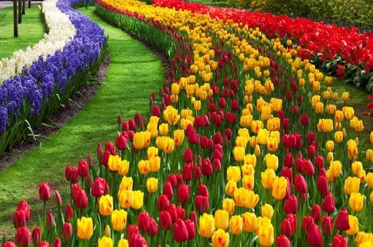 hoa-tulip-no-ro-vao-thoi-tiet-canada-thang-5